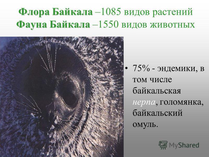 Флора Байкала Фауна Байкала Флора Байкала –1085 видов растений Фауна Байкала –1550 видов животных 75% - эндемики, в том числе байкальская нерпа, голомянка, байкальский омуль.