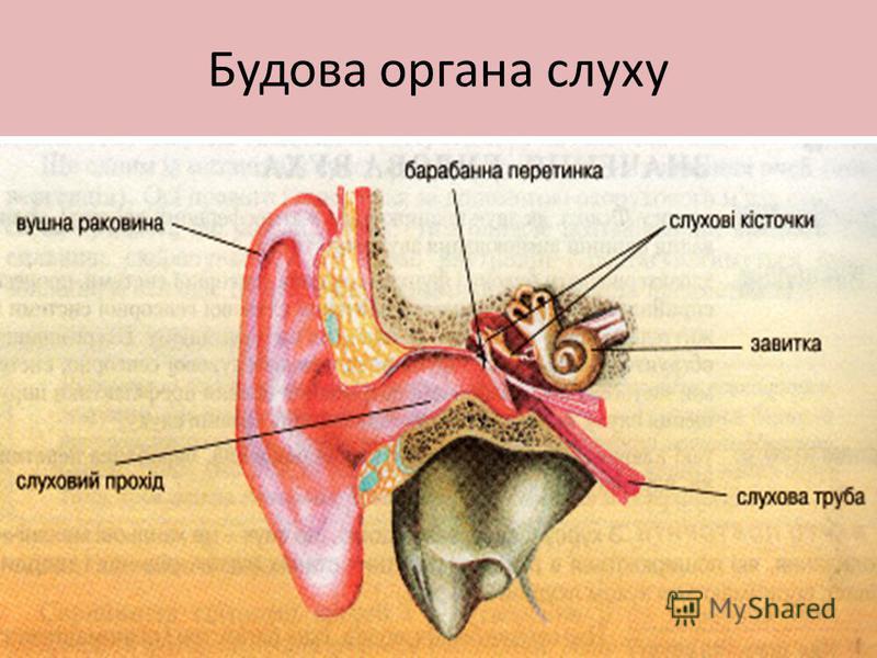 Будова органа слуху
