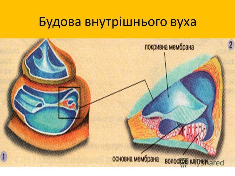 Будова внутрішнього вуха