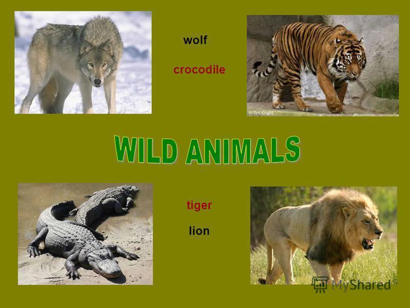wolf tiger crocodile lion