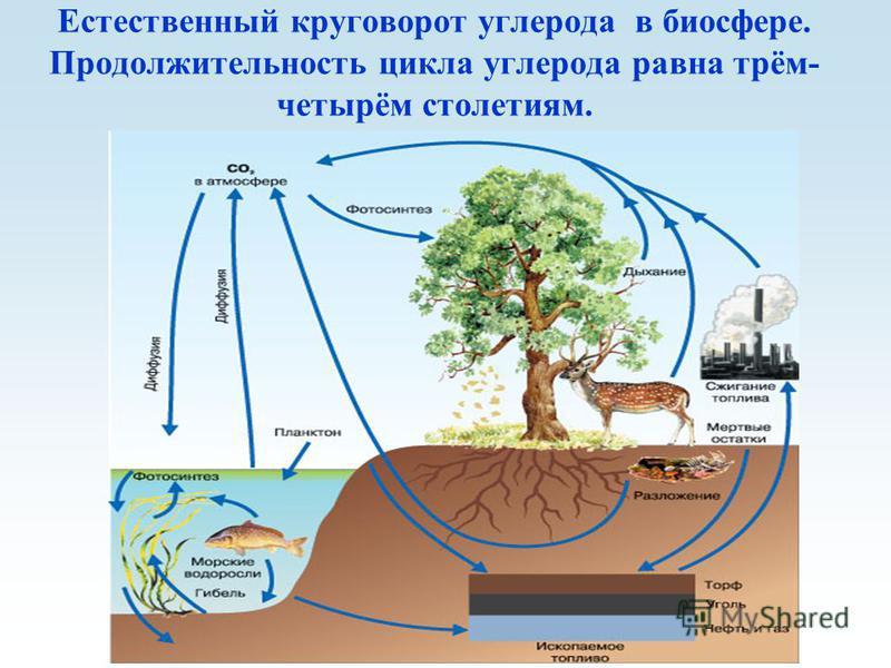 Естественный круговорот углерода в биосфере. Продолжительность цикла углерода равна трём- четырём столетиям.