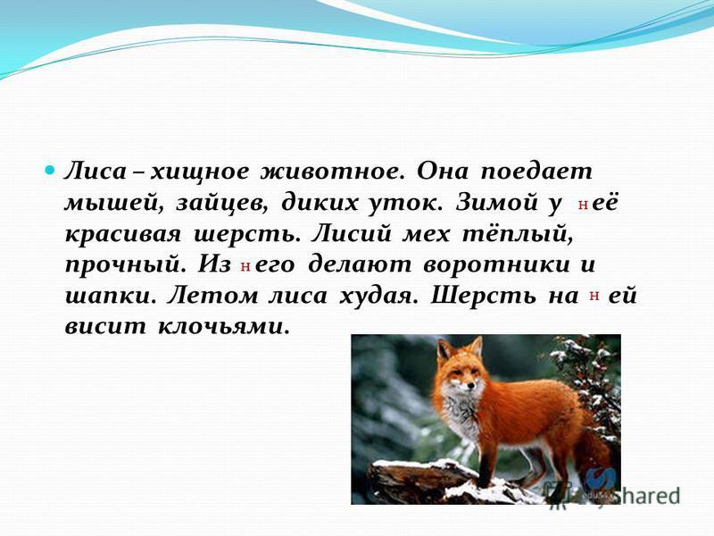 Лиса – хищное животное. Она поедает мышей, зайцев, диких уток. Зимой у её красивая шерсть. Лисий мех тёплый, прочный. Из его делают воротники и шапки. Летом лиса худая. Шерсть на ей висит клочьями. н н н