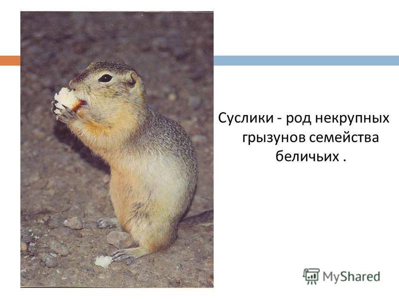 Суслики - род некрупных грызунов семейства беличьих.
