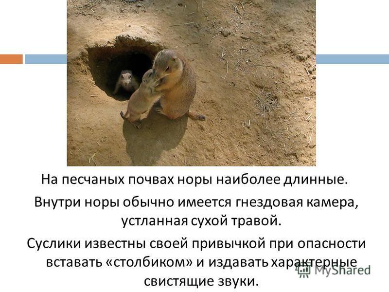 На песчаных почвах норы наиболее длинные. Внутри норы обычно имеется гнездовая камера, устланная сухой травой. Суслики известны своей привычкой при опасности вставать « столбиком » и издавать характерные свистящие звуки.