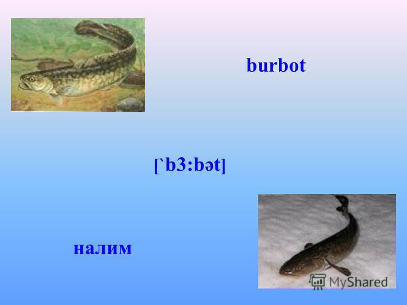 burbot [` b3:bət ] налим