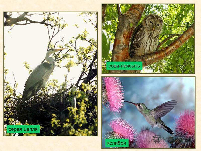 колибри серая цапля сова-неясыть