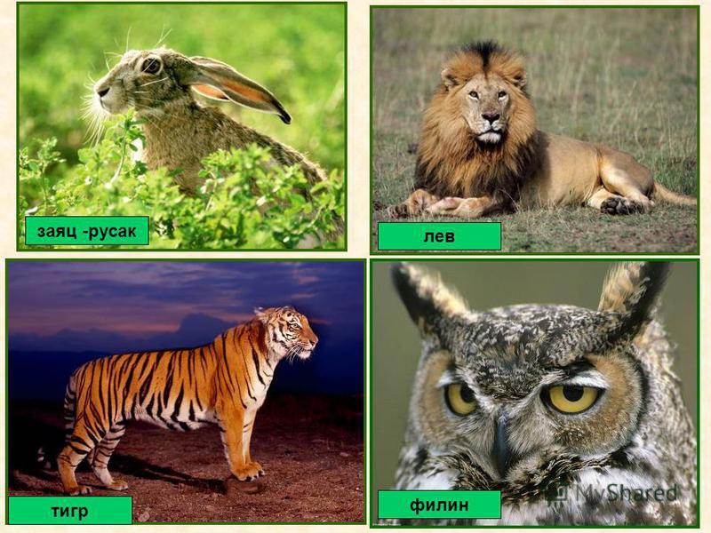 заяц -русак филин тигр лев