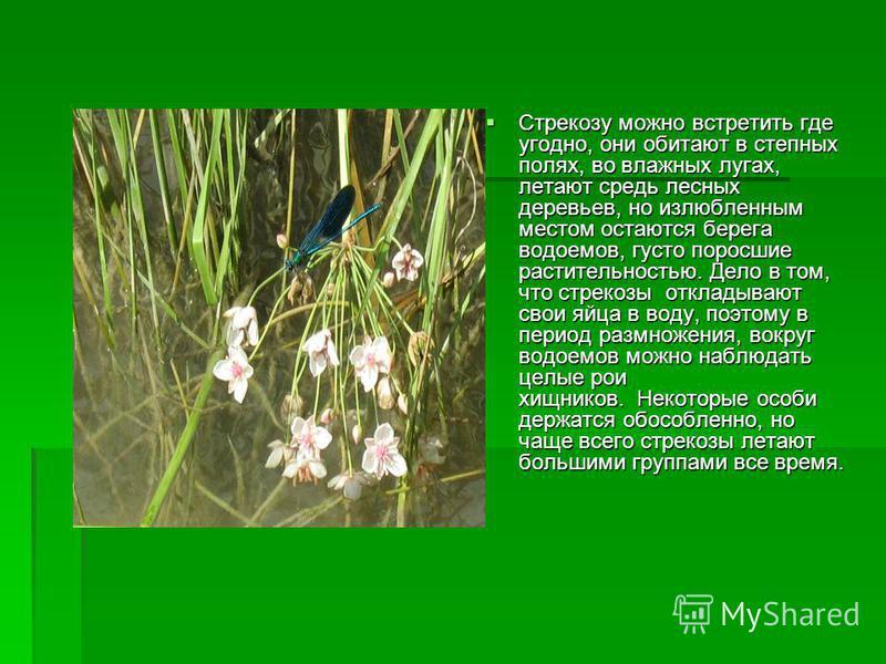Стрекозу можно встретить где угодно, они обитают в степных полях, во влажных лугах, летают средь лесных деревьев, но излюбленным местом остаются берега водоемов, густо поросшие растительностью. Дело в том, что стрекозы откладывают свои яйца в воду, п