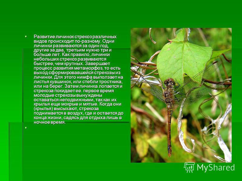 Развитие личинок стрекоз различных видов происходит по-разному. Одни личинки развиваются за один год, другие за два, третьим нужно три и больше лет. Как правило, личинки небольших стрекоз развиваются быстрее, чем крупных. Завершает процесс развития м