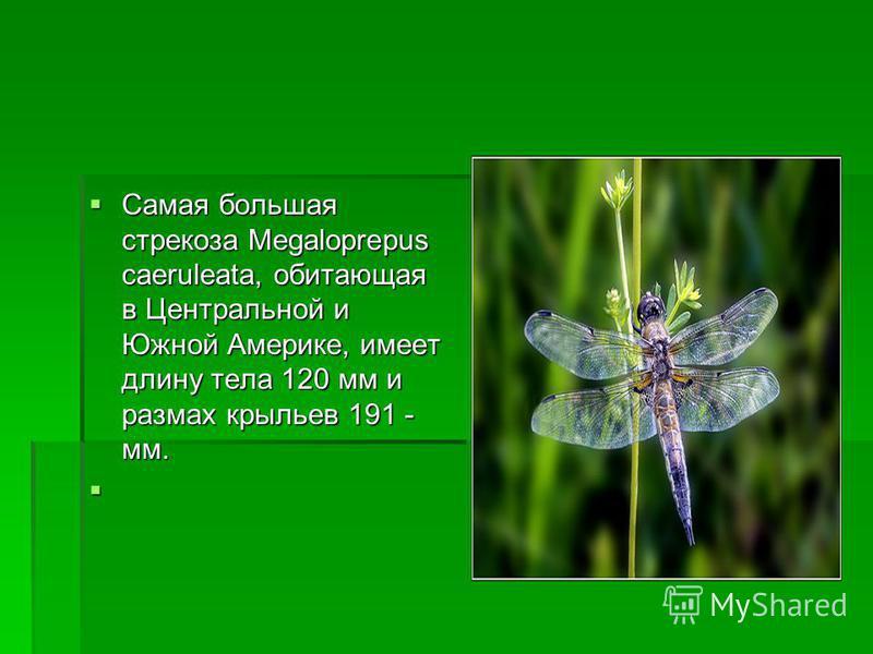 Самая большая стрекоза Megaloprepus caeruleata, обитающая в Центральной и Южной Америке, имеет длину тела 120 мм и размах крыльев 191 - мм. Самая большая стрекоза Megaloprepus caeruleata, обитающая в Центральной и Южной Америке, имеет длину тела 120