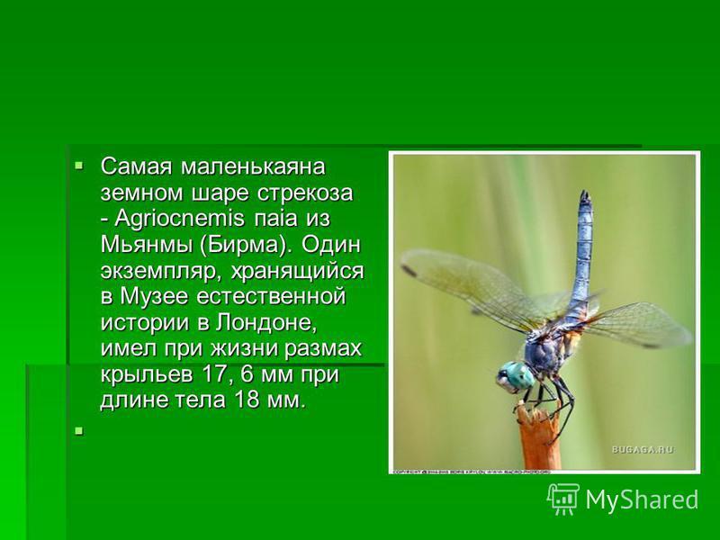 Самая маленькаяна земном шаре стрекоза - Agriocnemis паiа из Мьянмы (Бирма). Один экземпляр, хранящийся в Музее естественной истории в Лондоне, имел при жизни размах крыльев 17, 6 мм при длине тела 18 мм. Самая маленькаяна земном шаре стрекоза - Agri