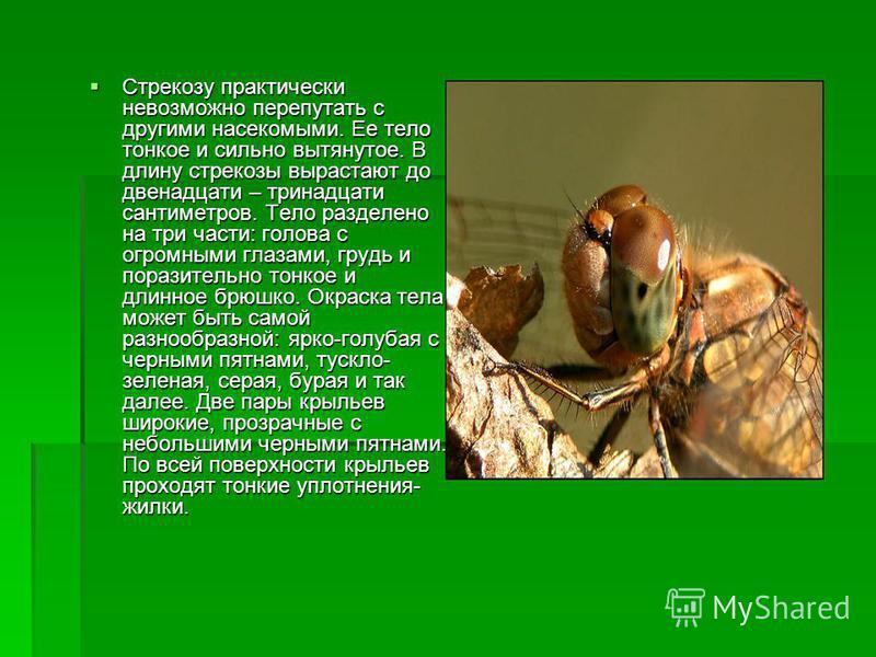 Стрекозу практически невозможно перепутать с другими насекомыми. Ее тело тонкое и сильно вытянутое. В длину стрекозы вырастают до двенадцати – тринадцати сантиметров. Тело разделено на три части: голова с огромными глазами, грудь и поразительно тонко