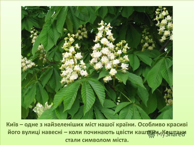 Київ – одне з найзеленіших міст нашої країни. Особливо красиві його вулиці навесні – коли починають цвісти каштани. Каштани стали символом міста.