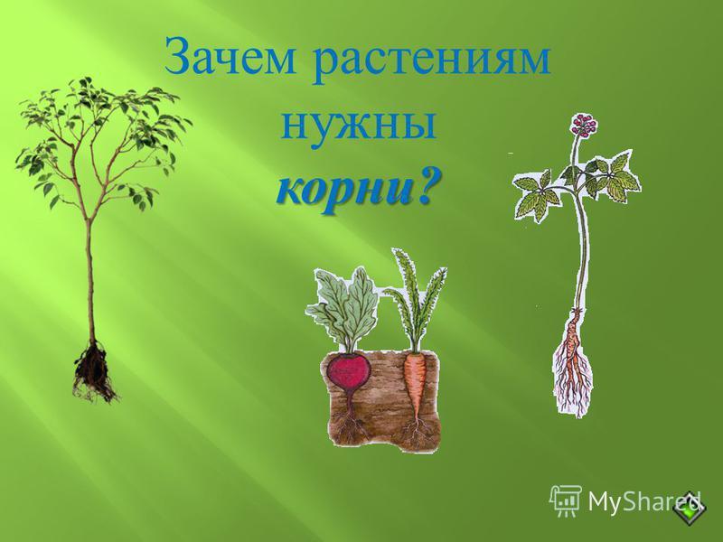 Зачем растениям нужны корни ?