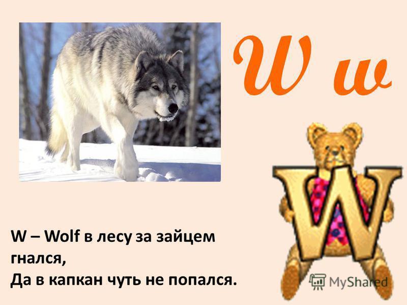 W w W – Wolf в лесу за зайцем гнался, Да в капкан чуть не попался.