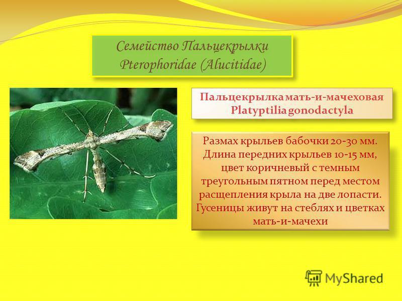 Семейство Пальцекрылки Pterophoridae (Alucitidae) Пальцекрылка мать-и-мачеховая Platyptilia gonodactyla Размах крыльев бабочки 20-30 мм. Длина передних крыльев 10-15 мм, цвет коричневый с темным треугольным пятном перед местом расщепления крыла на дв