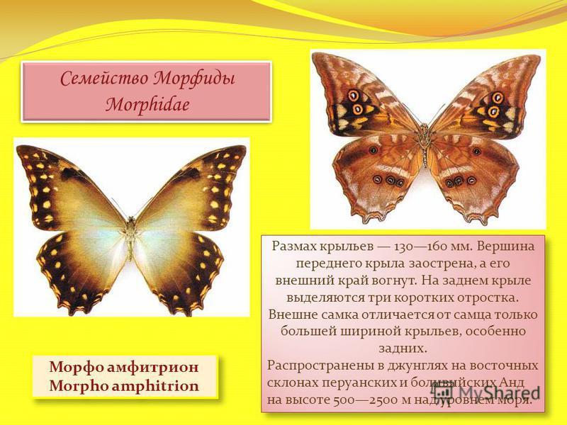 Семейство Морфиды Morphidae Морфо амфитрион Morpho amphitrion Размах крыльев 130160 мм. Вершина переднего крыла заострена, а его внешний край вогнут. На заднем крыле выделяются три коротких отростка. Внешне самка отличается от самца только большей ши