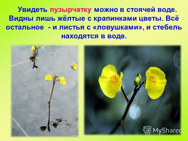Увидеть пузырчатку можно в стоячей воде. Видны лишь жёлтые с крапинками цветы. Всё остальное - и листья с «ловушками», и стебель находятся в воде.