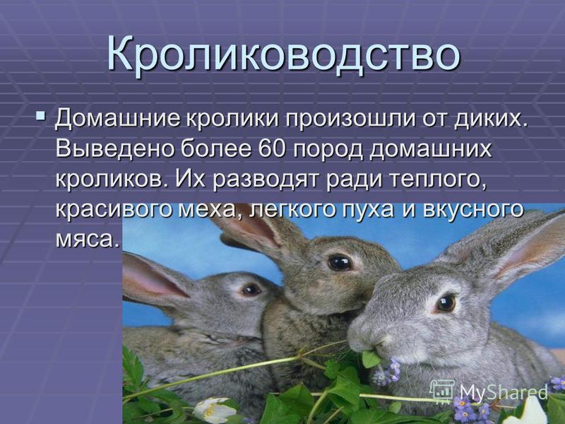 Кролиководство Домашние кролики произошли от диких. Выведено более 60 пород домашних кроликов. Их разводят ради теплого, красивого меха, легкого пуха и вкусного мяса.