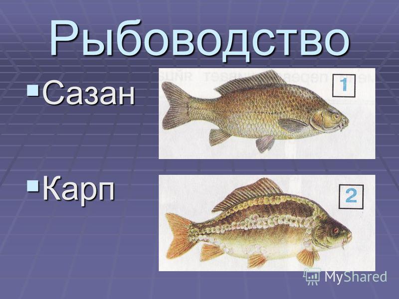 Рыбоводство Сазан Сазан Карп Карп