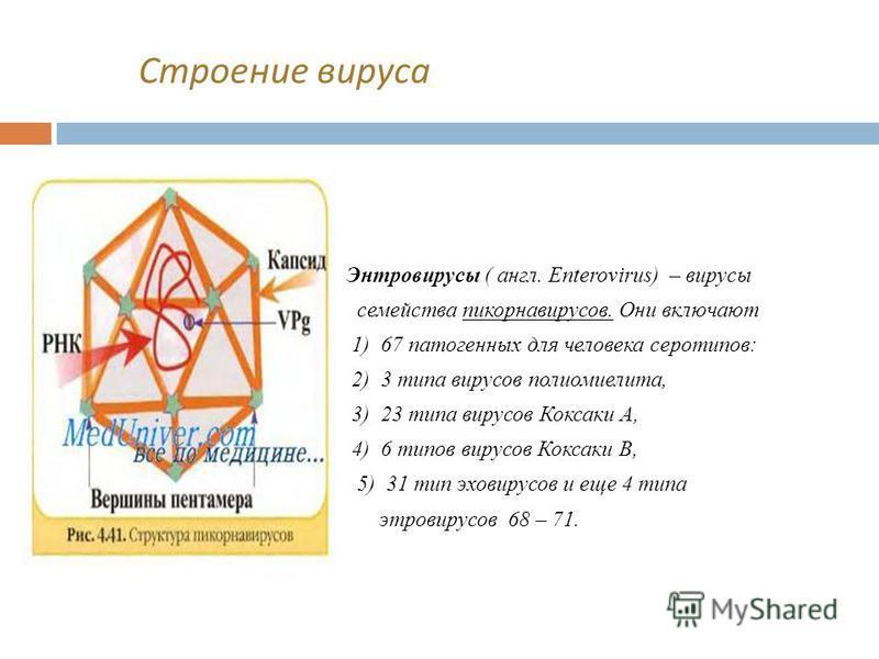 Строение вируса Энтровирусы ( англ. Enterovirus) – вирусы семейства пикорнавирусов. Они включают 1) 67 патогенных для человека серотипов: 2) 3 типа вирусов полиомиелита, 3) 23 типа вирусов Коксаки А, 4) 6 типов вирусов Коксаки В, 5) 31 тип эхо вирусо
