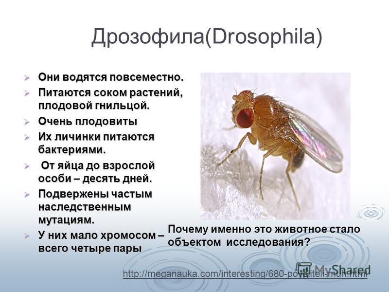 ДрозофилаDrosophila) Дрозофила(Drosophila) Они водятся повсеместно. Они водятся повсеместно. Питаются соком растений, плодовой гнильцой. Питаются соком растений, плодовой гнильцой. Очень плодовиты Очень плодовиты Их личинки питаются бактериями. Их ли