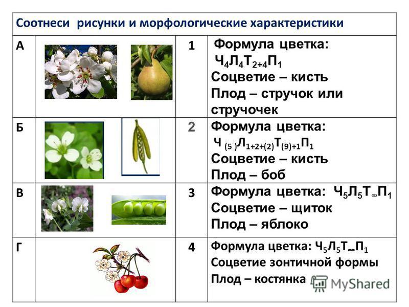 Соотнеси рисунки и морфологические характеристики А1 Формула цветка: Ч 4 Л 4 Т 2+4 П 1 Соцветие – кисть Плод – стручок или стручочек Б 2 Формула цветка: Ч (5 ) Л 1+2+(2) Т (9)+1 П 1 Соцветие – кисть Плод – боб В3 Формула цветка: Ч 5 Л 5 Т П 1 Соцвети