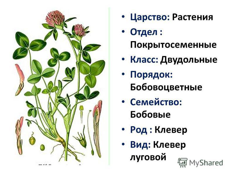 Царство: Растения Отдел : Покрытосеменные Класс: Двудольные Порядок: Бобовоцветные Семейство: Бобовые Род : Клевер Вид: Клевер луговой