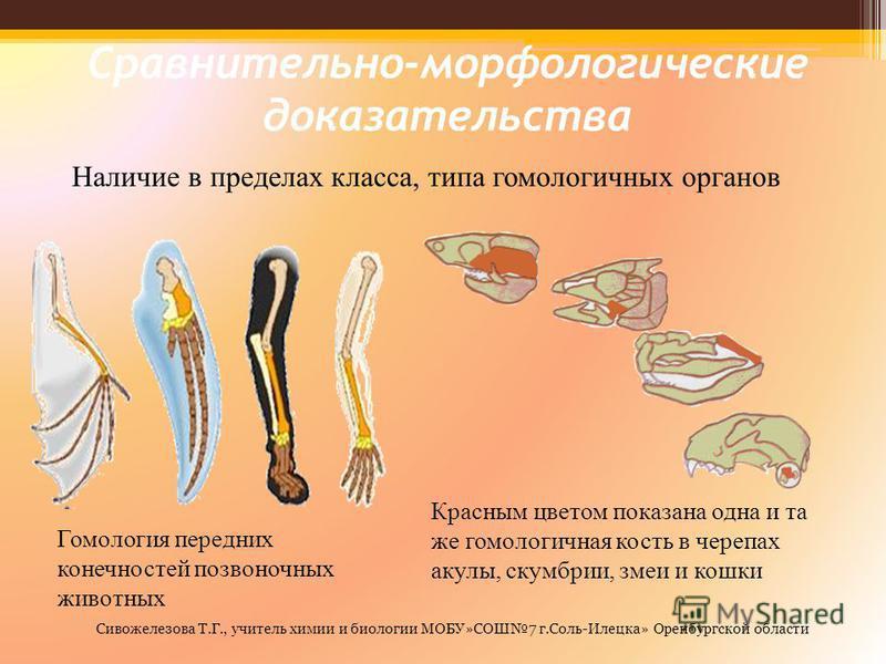 Сравнительно-морфологические доказательства Наличие в пределах класса, типа гомологичных органов Гомология передних конечностей позвоночных животных Красным цветом показана одна и та же гомологичная кость в черепах акулы, скумбрии, змеи и кошки Сивож