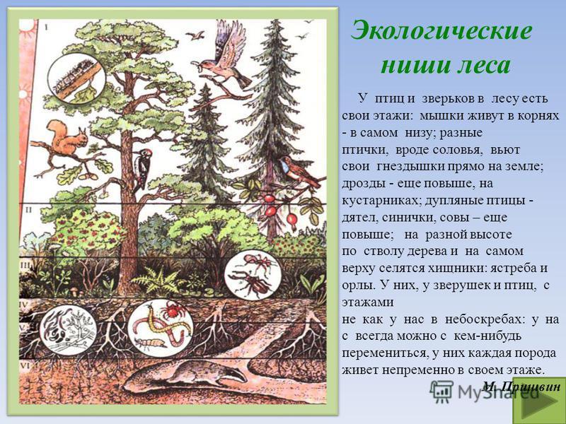 Экологические ниши леса У птиц и зверьков в лесу есть свои этажи: мышки живут в корнях - в самом низу; разные птички, вроде соловья, вьют свои гнездышки прямо на земле; дрозды - еще повыше, на кустарниках; дупляные птицы - дятел, синички, совы – еще