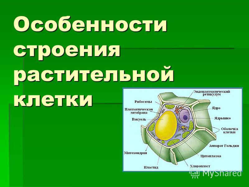 Особенности строения растительной клетки