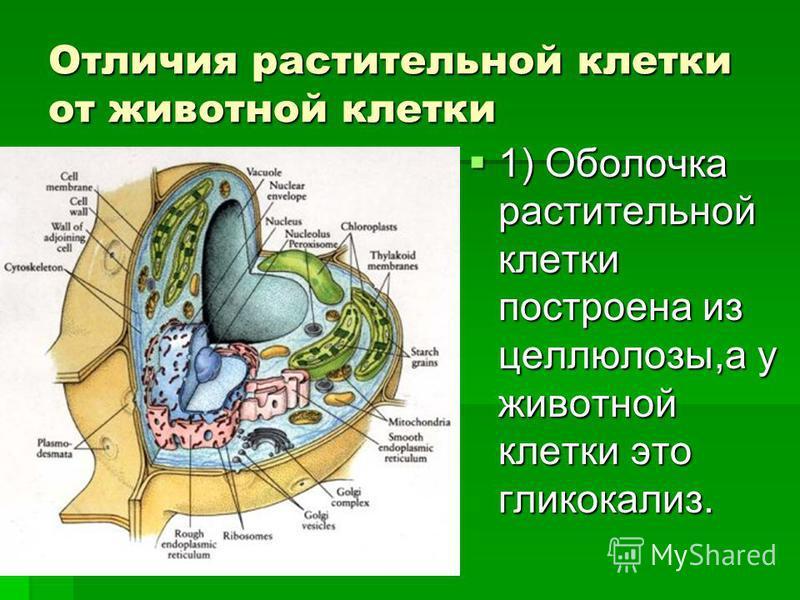Отличия растительной клетки от животной клетки 1) Оболочка растительной клетки построена из целлюлозы,а у животной клетки это гликокализ.