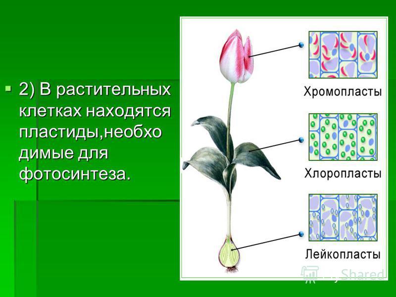 2) В растительных клетках находятся пластиды,необходимые для фотосинтеза.