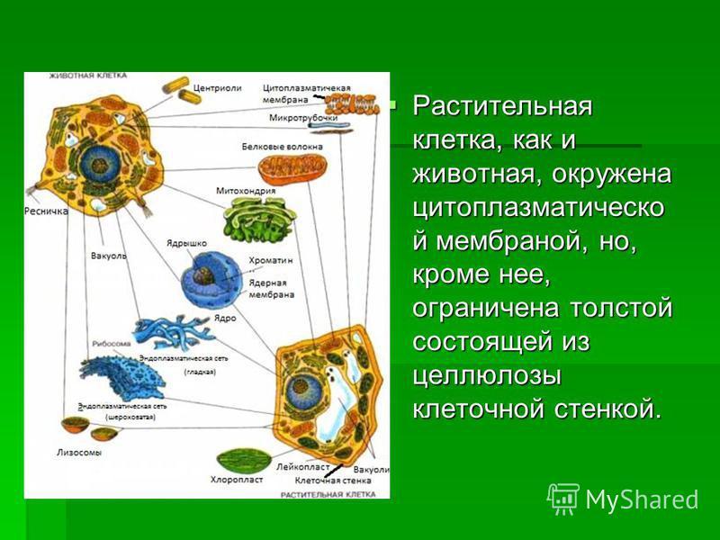 Растительная клетка, как и животная, окружена цитоплазматической мембраной, но, кроме нее, ограничена толстой состоящей из целлюлозы клеточной стенкой. Растительная клетка, как и животная, окружена цитоплазматической мембраной, но, кроме нее, огранич