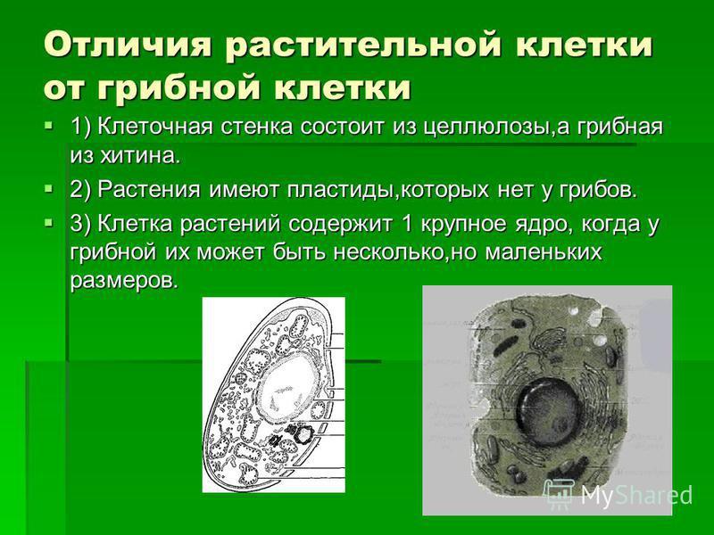 Отличия растительной клетки от грибной клетки 1) Клеточная стенка состоит из целлюлозы,а грибная из хитина. 1) Клеточная стенка состоит из целлюлозы,а грибная из хитина. 2) Растения имеют пластиды,которых нет у грибов. 2) Растения имеют пластиды,кото