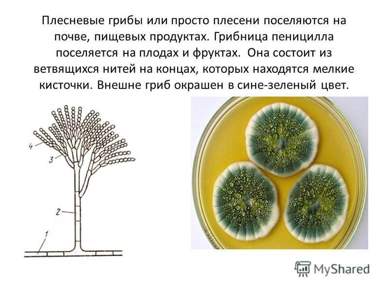 Плесневые грибы или просто плесени поселяются на почве, пищевых продуктах. Грибница пеницилла поселяется на плодах и фруктах. Она состоит из ветвящихся нитей на концах, которых находятся мелкие кисточки. Внешне гриб окрашен в сине-зеленый цвет.