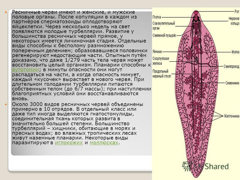 Ресничные черви имеют и женские, и мужские половые органы. После копуляции в каждом из партнёров сперматозоиды оплодотворяют яйцеклетки. Через несколько недель на свет появляются молодые турбеллярии. Развитие у большинства ресничных червей прямое, у