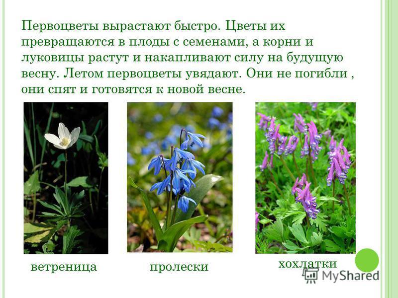 Первоцветы вырастают быстро. Цветы их превращаются в плоды с семенами, а корни и луковицы растут и накапливают силу на будущую весну. Летом первоцветы увядают. Они не погибли, они спят и готовятся к новой весне. ветреница пролески хохлатки