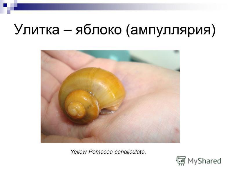 Улитка – яблоко (ампуллярия) Yellow Pomacea canaliculata.