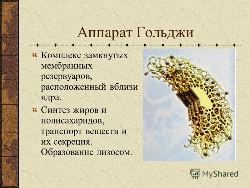 Митохондрии Овальные тельца, состоящие из двух слоёв мембраны: внешнего гладкого и внутреннего со складками (кристами). Синтез АТФ при дыхании. Основной источник энергии в клетке.