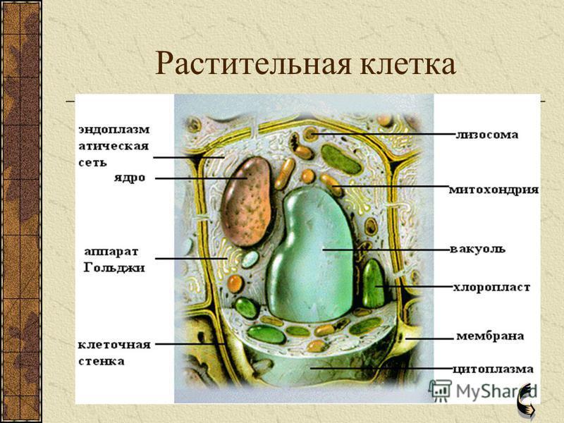 0 органоиды животной клетки ГЛИКОКАЛИКС – тонкий слой полисахаридов и белков, покрывающих плазматическую мембрану. Связывает клетки между собой и окружающей средой. КЛЕТОЧНЫЙ ЦЕНТР – состоит из двух маленьких телец – центриолей, расположенных вблизи