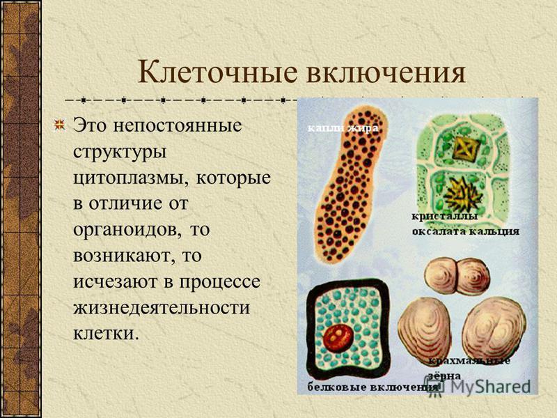 Органеллы растительной клетки КЛЕТОЧНАЯ СТЕНКА – плотный слой целлюлозы (клетчатки), покрывающий цитоплазматическую мембрану. Защита и опора клетки. ПЛАСТИДЫ – мембранные органеллы различной окраски. Придают окраску растениям. Фотосинтез.