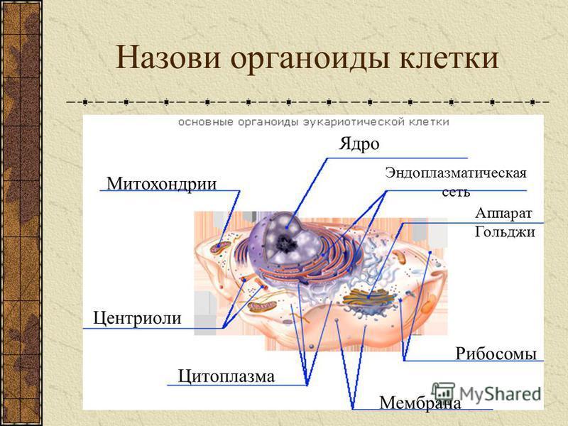 Сравнение строения клетки растений и клетки животных Составные части клетки и её оорганоиды Клетка животных Клетка растений Начертите в тетради таблицу. В первую колонку запишите части клетки и оорганоиды. Знаком «+» отметьте их наличие в клетке живо