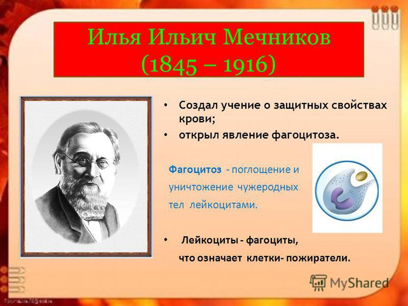 Илья Ильич Мечников (1845 – 1916) Создал учение о защитных свойствах крови; открыл явление фагоцитоза. Фагоцитоз - поглощение и уничтожение чужеродных тел лейкоцитами. Лейкоциты - фагоциты, что означает клетки- пожиратели.