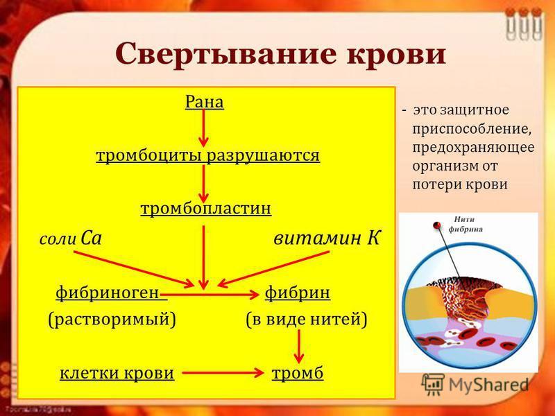 Свертывание крови Рана тромбоциты разрушаются тромбопластин соли Са витамин К фибриноген фибрин (растворимый) (в виде нитей) клетки крови тромб - это защитное приспособление, предохраняющее организм от потери крови