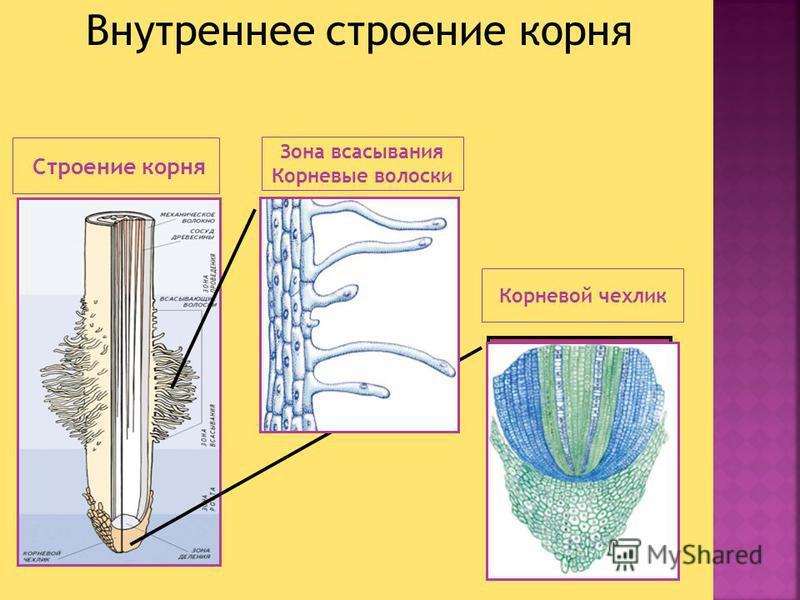 Строение корня Корневой чехлик Зона всасывания Корневые волоски Внутреннее строение корня
