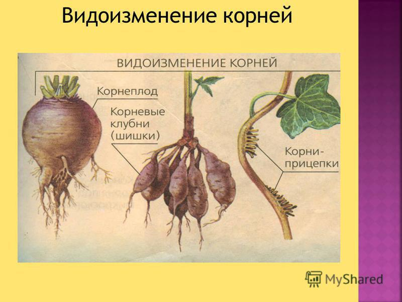 Видоизменение корней