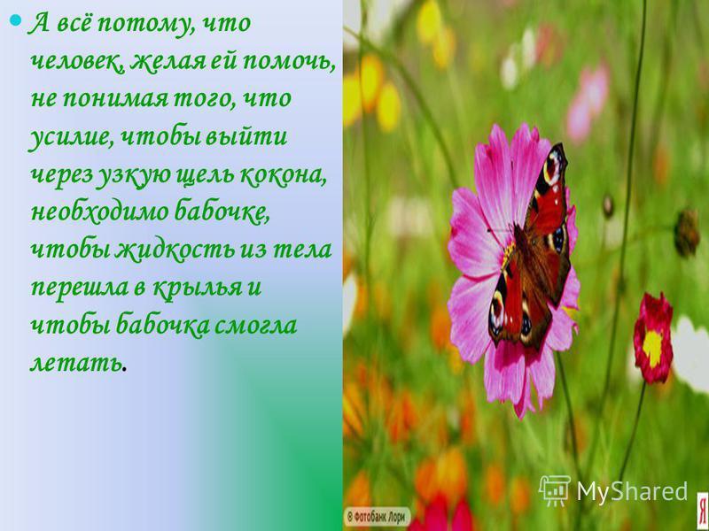 А всё потому, что человек, желая ей помочь, не понимая того, что усилие, чтобы выйти через узкую щель кокона, необходимо бабочке, чтобы жидкость из тела перешла в крылья и чтобы бабочка смогла летать.