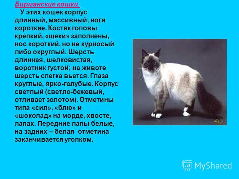 Бирманские кошки. У этих кошек корпус длинный, массивный, ноги короткие. Костяк головы крепкий, «щеки» заполнены, нос короткий, но не курносый либо округлый. Шерсть длинная, шелковистая, воротник густой; на животе шерсть слегка вьется. Глаза круглые,