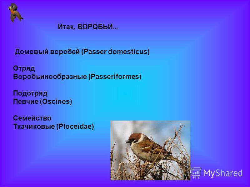 Итак, ВОРОБЬИ... Домовый воробей (Passer domesticus) Отряд Воробьинообразные (Passeriformes) Подотряд Певчие (Oscines) Семейство Ткачиковые (Ploceidae)